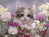 8-Week, Silver Tortoiseshell-And-White Kitten, Among Gillyflowers, Carnations and Meadowseed Impressão fotográfica por Jane Burton