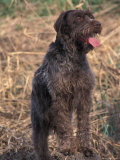 Korthal's Griffon / Wirehaired Pointing Griffon Portrait Posters by Adriano Bacchella