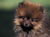 German Spitz (Klein) Puppy Portrait Posters by Adriano Bacchella