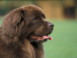 Brown Newfoundland Dog Portrait Psters por Adriano Bacchella