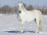 Grey Andalusian Stallion Portrait in Snow, Longmont, Colorado, USA Photographic Print by Carol Walker