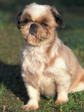 Shih Tzu Puppy Sitting on Grass Photographic Print by Adriano Bacchella