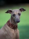 Fawn Whippet Wearing a Collar Photographic Print by Adriano Bacchella