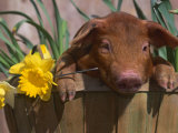 Domestic Piglet, in Bucket with Daffodils, USA Posters by Lynn M. Stone