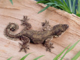 Flying Gecko Premium Photographic Print by  Steimer