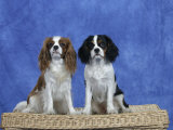 Dogs, Two Cavalier King Charles Spaniels on Basket Photographic Print by Petra Wegner