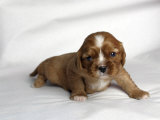 Very Young Cavalier King Charles Spaniel Puppy Photographic Print by Petra Wegner