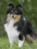 Sheltie Dog Outdoors Photographic Print by Petra Wegner