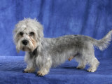 Dandie Dinmont Terrier Dog Photographic Print by Petra Wegner
