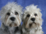 Two Dandie Dinmont Terrier Dogs Photographic Print by Petra Wegner