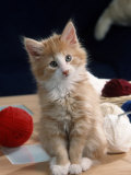 Norwegian Forest Kitten Photographic Print by Petra Wegner