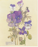 Wild Pansy Stretched Canvas Print by Charles Rennie Mackintosh