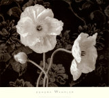 Poppy IV Prints by Sondra Wampler