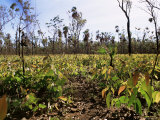 Re-Growth of Eucalyptus Seedlings after Bush Fire, Kimberley, Australia Photographic Print by Richard Ashworth