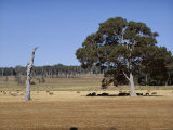 Sheep in the Shade of Jarrah Tree and Dead Karri Trunk, Western Australia, Australia Photographic Print by Richard Ashworth