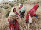 Berber Women Harvesting Near Maktar, the Tell, Tunisia, North Africa, Africa Photographic Print by David Beatty