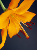 Close-Up of Orange Lilium Brunello Flower, Against a Blue Background Photographic Print by Pearl Bucknall
