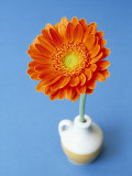 Orange Gerbera Flower Against a Blue Background Photographic Print by Pearl Bucknall
