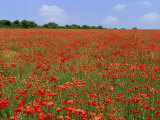 Field of Wild Poppies, Wiltshire, England, United Kingdom Photographic Print by Jeremy Bright