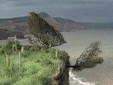 Tree Tumbling Over Cliff Edge, East Devon, England, United Kingdom Photographic Print by Cyndy Black