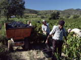 Grape-Picking, Vineyards, Languedoc-Roussillon, France Photographic Print by Cyndy Black