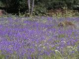 Glade of Bluebells in May, Devon, England, United Kingdom Photographic Print by Cyndy Black