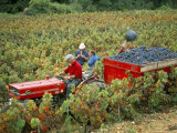 Harvesting Grapes, Near Bagnoles Sur Ceze, Languedoc Roussillon, France Photographic Print by Michael Busselle