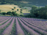 Lavender Field Near Ferrassieres, Drome, Rhone Alpes, France Photographic Print by Michael Busselle