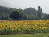 Field of Sunflowers Near Ferrassieres, Drome, Rhone Alpes, France Photographic Print by Michael Busselle