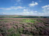 Heather on the Moors, North Yorkshire, England, United Kingdom Photographic Print by Jean Brooks