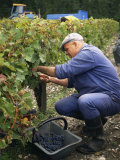 Harvest in the Medoc Vineyards, Margaux, Gironde, Aquitaine, France Photographic Print by Michael Busselle