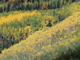 Aspen Trees in the Fall, San Juan Skyway, Colorado, USA Photographic Print by Jean Brooks