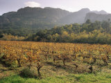 Vineyards Near Roquebrun Sur Argens, Var, Provence, France Photographic Print by Michael Busselle