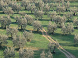 Elevated View Over Olive Trees in Olive Grove, Tuscany, Italy Photographic Print by Jean Brooks