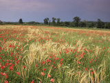 Summer Meadow with Poppies, Near Chateaumeillant, Loire Centre, Centre, France Photographic Print by Michael Busselle