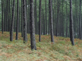 Pine Tree Trunks, Landes Forest, Near Lit Et Mixe, Landes, Aquitaine, France Photographic Print by Michael Busselle