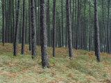 Pine Tree Trunks, Landes Forest, Near Lit Et Mixe, Landes, Aquitaine, France Photographic Print by Michael Busselle