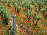 Vineyards Near Sauterne, Gironde, Aquitaine, France Photographic Print by Michael Busselle
