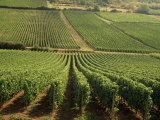 Vineyards Near Lugny, Burgundy (Bourgogne), France Photographic Print by Michael Busselle