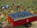 Harvesting Grapes in a Vineyard in the Rhone Valley, Rhone Alpes, France Photographic Print by Michael Busselle