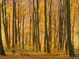 Beech Trees in Autumn, Queen Elizabeth Country Park, Hampshire, England, United Kingdom Photographic Print by Jean Brooks
