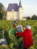 Grape Harvesting, Chateau Pichon Longueville, Pauillac, Medoc, Aquitaine, France Photographic Print by Michael Busselle