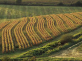 Maize Fields Near Geaune, Landes, Aquitaine, France Photographic Print by Michael Busselle