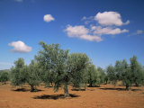 Olive Grove Near Ronda, Andalucia, Spain Photographic Print by Michael Busselle