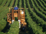 Harvesting Grapes, Near Castillon, Gironde, Aquitaine, France Photographic Print by Michael Busselle
