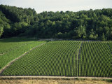 Chablis Vineyards, Fleys, Near Chablis, Yonne, Burgunday, France Photographic Print by Michael Busselle