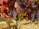 Close-Up of Grenache Grapes, Provence, France Photographic Print by Michael Busselle