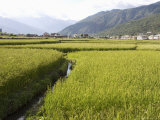 Rice Fields, Paro, Bhutan, Photographic Print