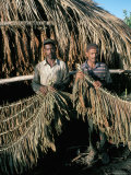 Preparing Tobacco for Drying, Santiago Region, Dominican Republic, Hispaniola Photographic Print by Bruno Barbier
