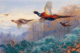 Pheasants in Flight Poster par Archibald Thorburn